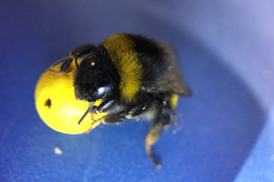 Scientists Teach Bumblebees to Play Soccer, Suggesting 'Unprecedented Learning Abilities'